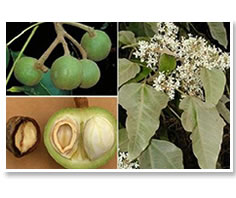 nuez de la india, semillas